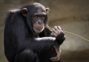 empatía un chimpance con un mondadientes